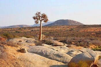 Quiver tree, Springbok, Northern Cape
