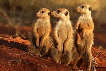 Meerkats in the Tswalu Kalahari Reserve, Northern Cape