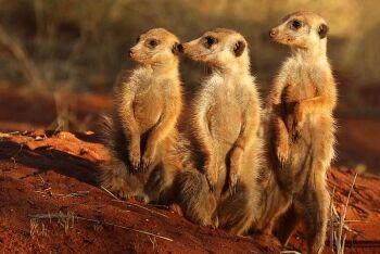 Meerkats in the Tswalu Kalahari Reserve, Northern Cape