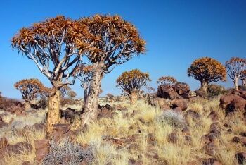 Quiver Tree, Kokerboom, Northern Cape
