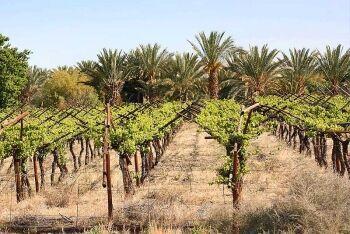 Vineyard in Kakamas, Northern Cape
